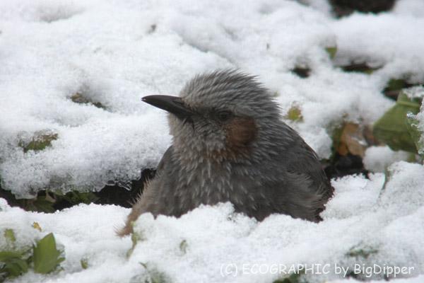 雪の隙間から顔を出すヒヨドリ
